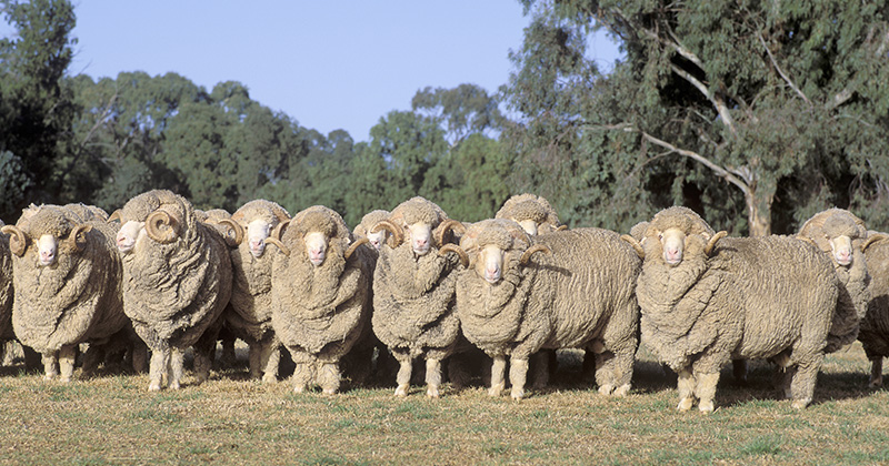 Top twenty Merino price falls since 1947 7